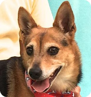 Terrier (Unknown Type, Small)/Beagle Mix Dog for adoption in Evansville, Indiana - Shadow