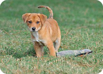 Labrador Retriever Mix Puppy for adoption in Bend, Oregon - Sara