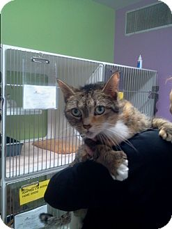 Domestic Shorthair Cat for adoption in Muskegon, Michigan - Cranberry
