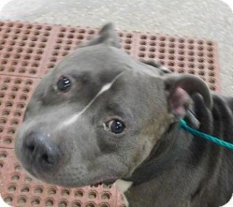American Staffordshire Terrier Mix Dog for adoption in Saginaw, Michigan - Hulk