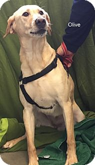 Labrador Retriever Mix Dog for adoption in Hibbing, Minnesota - Olive