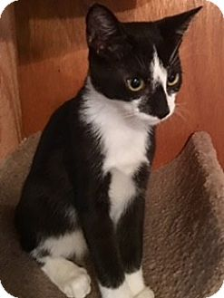 Domestic Shorthair Kitten for adoption in Houston, Texas - Sprint