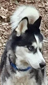 Siberian Husky Dog for adoption in Memphis, Tennessee - Wesley