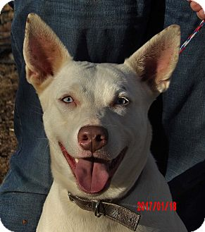 Husky/Kishu Mix Dog for adoption in Burlington, Vermont - Diamond(60 lb) New Pics/Video