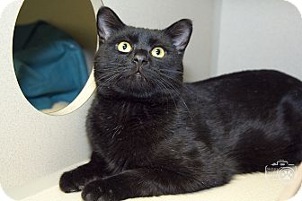 Domestic Shorthair Cat for adoption in Divide, Colorado - Sidd
