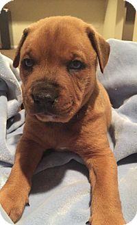 Catahoula Leopard Dog/Labrador Retriever Mix Puppy for adoption in Hillsboro, Missouri - Donald