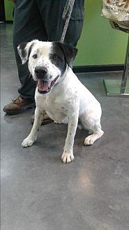 Dalmatian/Hound (Unknown Type) Mix Dog for adoption in Barnwell, South Carolina - Spanky