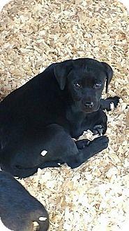 Rottweiler/Labrador Retriever Mix Puppy for adoption in Ellaville, Georgia - Hana (adoption pending)