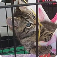 Adopt A Pet :: Cat Benatar - New Smyrna Beach, FL