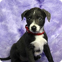 Adopt A Pet :: Pepper - Westminster, CO
