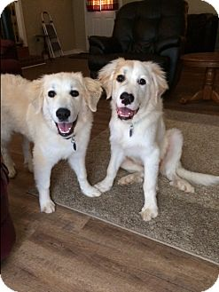 Great Pyrenees Puppy for adoption in Savannah, Tennessee - sampson and Delilah