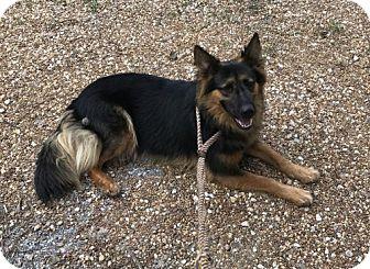 German Shepherd Dog Mix Dog for adoption in Montgomery, Alabama - Chaos