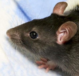 Rat for adoption in Jefferson, Wisconsin - Phoenix