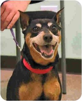 Miniature Pinscher Mix Dog for adoption in Arlington Heights, Illinois - Zeus