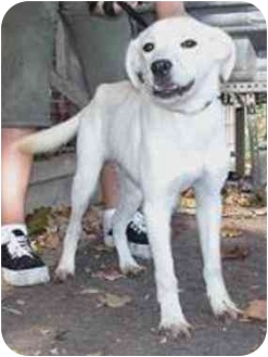 Retriever (Unknown Type) Mix Dog for adoption in Oxford, Michigan - Subway