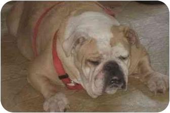 English Bulldog Dog for adoption in San Diego, California - Fergie