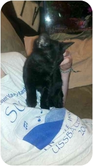 Domestic Shorthair Kitten for adoption in Jenkintown, Pennsylvania - Honey