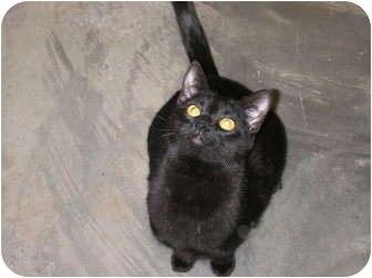 Bombay Cat for adoption in Woodstock, Georgia - John