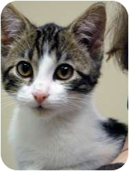 Domestic Shorthair Kitten for adoption in Chicago, Illinois - Maya