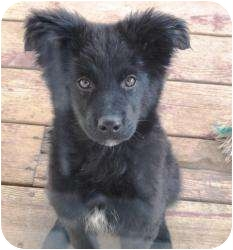 Border Collie Mix Puppy for adoption in Overland Park, Kansas - CHEYENNE