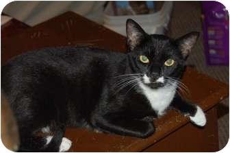 Siamese Cat for adoption in Chula Vista, California - Madame Mim
