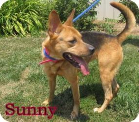 German Shepherd Dog Mix Dog for adoption in Frankfort, Indiana - Sunny
