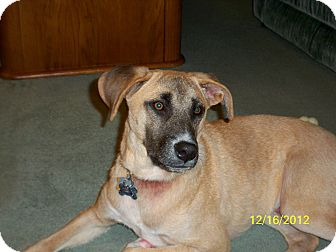 Labrador Retriever/Shepherd (Unknown Type) Mix Dog for adoption in Foster, Rhode Island - Gus (In New Hampshire!)