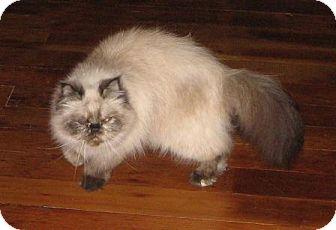 Himalayan Cat for adoption in Davis, California - Ciba