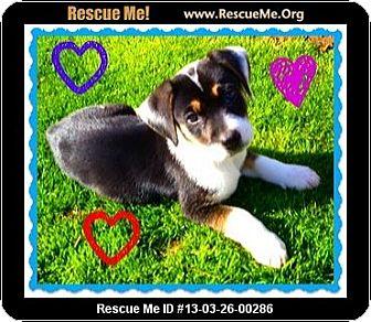 Anatolian Shepherd/Border Collie Mix Puppy for adoption in Scottsdale, Arizona - Danny Boy