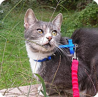 American Shorthair Cat for adoption in Rohrersville, Maryland - Sweetie