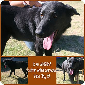 German Shepherd Dog Mix Dog for adoption in Yuba City, California - 10/06 Unnamed