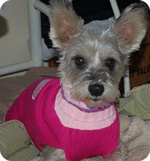 Schnauzer (Miniature) Dog for adoption in Hazard, Kentucky - Clover