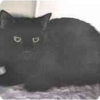 Adopt A Pet :: Little Bear - Lunenburg, MA