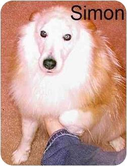 Sheltie, Shetland Sheepdog Dog for adoption in Ashland, Ohio - Simon-NEEDS A HOME SOON!