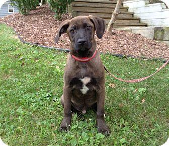 Labrador Retriever/Retriever (Unknown Type) Mix Dog for adoption in Randolph, New Jersey - Timmy