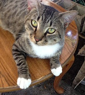 Domestic Shorthair Cat for adoption in Miami, Florida - T.J.