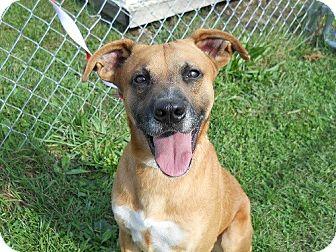 Black Mouth Cur/German Shepherd Dog Mix Dog for adoption in Kingsport, Tennessee - Jake