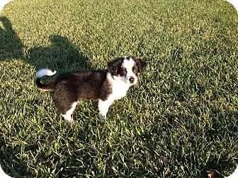 Corgi/Terrier (Unknown Type, Small) Mix Puppy for adoption in Cincinnati, Ohio - Winnie