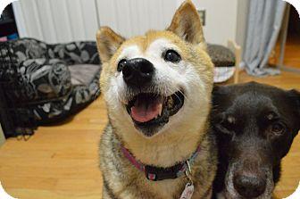 Shiba Inu Dog for adoption in Manassas, Virginia - Asami