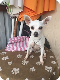 Terrier (Unknown Type, Small)/Chihuahua Mix Dog for adoption in Elk Grove, California - IZANA