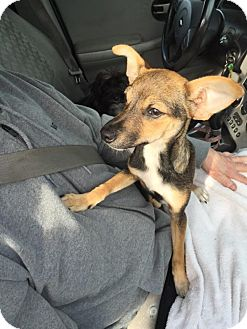Jack Russell Terrier/Miniature Pinscher Mix Dog for adoption in Lodi, California - Soldier