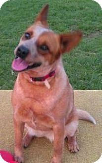 Cattle Dog Dog for adoption in House Springs, Missouri - Lucy