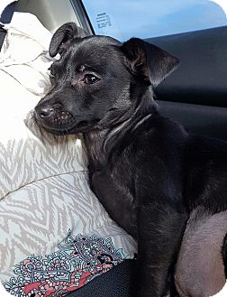 Chihuahua/Dachshund Mix Puppy for adoption in Goldens Bridge, New York - Opal great with kids,cats&dogs