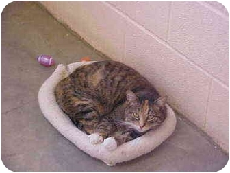 Domestic Shorthair Cat for adoption in Burnsville, North Carolina - Beauty