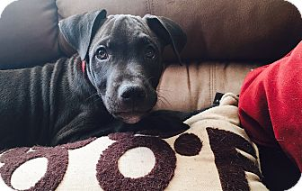 American Pit Bull Terrier/Pit Bull Terrier Mix Puppy for adoption in Phoenix, Arizona - Thomas - Courtesy post