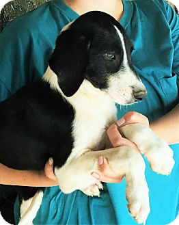 Beagle/Labrador Retriever Mix Puppy for adoption in Hagarstown, Maryland - Gerald - perfect family dog