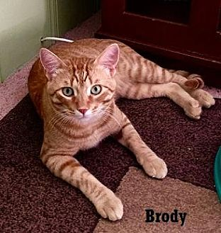Domestic Shorthair Cat for adoption in Fullerton, California - Brody
