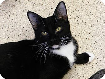 Domestic Shorthair Cat for adoption in Seal Beach, California - Beth