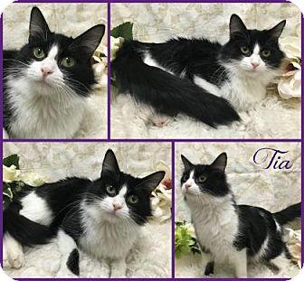 Domestic Mediumhair Cat for adoption in Joliet, Illinois - Tia