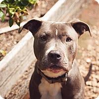 Adopt A Pet :: Thorin (foster) - Portland, OR
